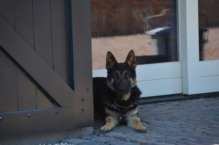 drijvers-oisterwijk-restauratie-particulier-dieren-beesten-exterieur-hond (3)